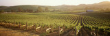 Vineyards, Carneros District, Napa Valley, California, USA Wall Decal by  Panoramic Images