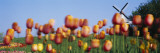 Tulip Flowers with a Windmill in the Background, Holland, Michigan, USA Wall Decal by  Panoramic Images