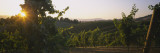 Vineyard at Sunset, Napa Valley, California, USA Wall Decal by  Panoramic Images