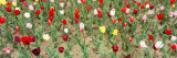 Tulip Flowers in a Garden, Holland, Michigan, USA Wall Decal by  Panoramic Images