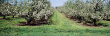 Apple Trees in an Orchard, Kent County, Michigan, USA Wall Decal by  Panoramic Images