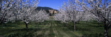 Cherry Trees Growing on a Field, Provence, France Wall Decal by  Panoramic Images