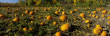Field of Ripe Pumpkins, Kent County, Michigan, USA Wall Decal by Panoramic Images