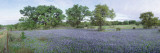 Field of Bluebonnet Flowers, Texas, USA Wall Decal by  Panoramic Images