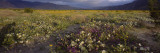 Wildflowers in a Landscape, Anza-Borrego Desert State Park, California, USA Wall Decal by  Panoramic Images
