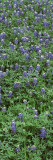 Plants, Bluebonnets, Austin, Texas, USA Wall Decal by  Panoramic Images