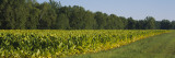Crop of Tobacco in a Field, Winchester, Kentucky, USA Wall Decal by Panoramic Images