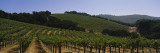 Vineyard on a Landscape, Napa Valley, California, USA Vinilo decorativo por Panoramic Images