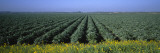 Crops in a Field, California, USA Wall Decal by  Panoramic Images
