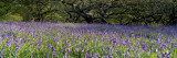 Lavender Flowers in a Field, England, United Kingdom Wall Decal by  Panoramic Images