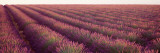Lavender Fields, Plateau de Valensole, France Wall Decal by  Panoramic Images