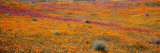 Blossoms in Antelope Valley, Poppy Reserve, Mojave Desert, California, USA Wall Decal by  Panoramic Images