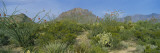 Ocotillo Plants in a Park, Big Bend National Park, Texas, USA Wall Decal by Panoramic Images