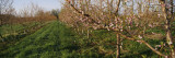 Plum Tree in an Orchard, Grand Rapids, Michigan, USA Wall Decal by  Panoramic Images