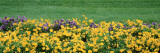 Pansy Flowers in a Field Wall Decal by  Panoramic Images