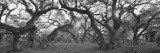 Oak Trees in a Forest, Lake Kissimmee State Park, Florida, USA Wall Decal by  Panoramic Images
