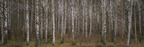 Silver Birch Trees in a Forest, Narke, Sweden Wall Decal by  Panoramic Images
