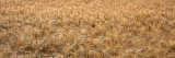 Wheat, Colorado, USA Wall Decal by  Panoramic Images