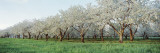 Cherry Trees in an Orchard, Mission Peninsula, Traverse City, Michigan, USA Wall Decal by  Panoramic Images