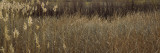 Reeds Growing in a Field, Bosque del Apache National Wildlife Refuge, New Mexico, USA Wall Decal by  Panoramic Images