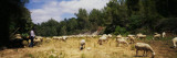 Flock of Sheep Grazing in a Field, Sitges, Spain Wall Decal by  Panoramic Images
