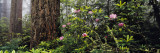 Redwoods and Rhododendrons at Prairie Creek Redwood State Park, California, USA Wall Decal by  Panoramic Images