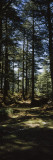Trees in a Forest, Chail, Shimla, Himachal Pradesh, India Wall Decal by  Panoramic Images
