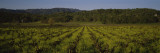 Plants in a Vineyard, Kenwood, California, USA Wall Decal by  Panoramic Images