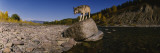 Gray Wolf, North Fork Flathead River, Glacier National Park, Montana, USA Wall Decal by  Panoramic Images