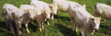 Herd of Cows Standing in a Field, Charolais, Burgundy, France Wall Decal by  Panoramic Images