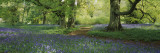 Bluebells in a Forest, Thorp Perrow Arboretum, North Yorkshire, England Wallsticker af Panoramic Images,