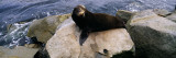 Sea Lion Lying on a Rock at the Coast, Fisherman's Wharf, Monterey, California, USA Wall Decal by  Panoramic Images