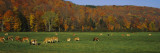 Cows Grazing on a Pasture, Wilmington, Vermont, New England, USA Wall Decal by  Panoramic Images