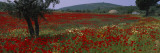 Red Poppies in a Field, Turkey Wall Decal by  Panoramic Images