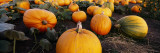 Pumpkins in a Field, Half Moon Bay, California, USA Decalcomania da muro di Panoramic Images,