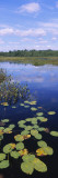Lily Pads in a Marsh, Adirondack State Park, Adirondack Mountains, New York, USA Wall Decal by  Panoramic Images