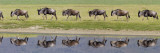 Herd of Wildebeests along a River, Ngorongoro Crater, Tanzania Wall Decal by  Panoramic Images