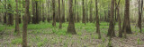 Trees in the Forest, Congaree National Park, South Carolina, USA Wall Decal by  Panoramic Images