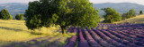 Lavender Flowers in a Field, Drome, Provence, France Wall Decal by  Panoramic Images