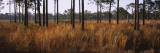 Dried Grass and Trees in a Forest, Venice, Sarasota County, Florida, USA Wall Decal by  Panoramic Images
