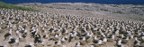 Flock of Black-Browed Albatross at the Coast, Steeple Jason Island, Falkland Islands, Antarctica Wall Decal by  Panoramic Images
