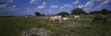 Cattle Grazing in the Field, Texas Longhorn Cattle, Y.O. Ranch, Texas, USA Wall Decal by  Panoramic Images
