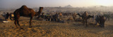 Camels in a Fair, Pushkar Camel Fair, Pushkar, Rajasthan, India Wall Decal by  Panoramic Images
