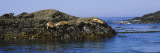 Four Sea Lions Lying on a Rock, Point Lobos State Reserve, California, USA Wall Decal by  Panoramic Images