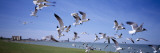 Flock of Seagulls Flying on the Beach, New York, USA Wall Decal by  Panoramic Images