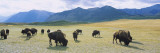 Herd of Bisons Grazing in a Field, Waterton Lakes National Park, Alberta, Canada Wall Decal by  Panoramic Images