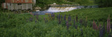 Lupine Flowers in a Field, Petite River, Nova Scotia, Canada Wall Decal by  Panoramic Images