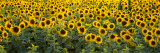 Sunflowers in a Field, Bouches-Du-Rhone, Provence, France Wall Decal by  Panoramic Images