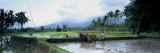 Farmer and Oxen Plowing a Rice Paddy Field, Bali, Indonesia Wall Decal by  Panoramic Images