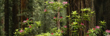 Redwood Trees with Pink Flowers in a Forest, Redwood National Park, California, USA Wall Decal by  Panoramic Images